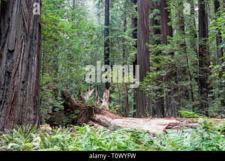 Beautiful forest of giant redwood trees in Humboldt Redwoods State Park in California - Stock Photo