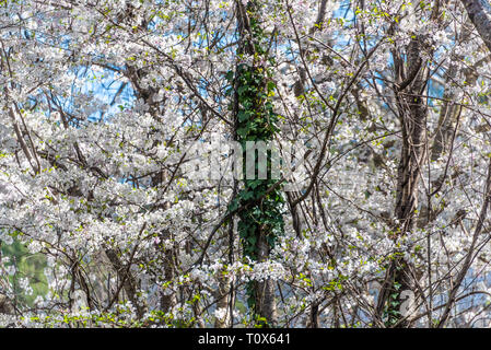 English ivy climbing a tree trunk amidst white cherry tree blossoms on a beautiful spring day in Metro Atlanta, Georgia. (USA) - Stock Photo
