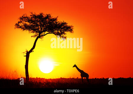 Acacia tree and giraffe with the setting sun in the Masai Mara. Silhouette against orange sunset in Kenya, with space for text. - Stock Photo