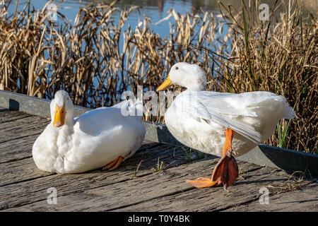 White duck stretching orange legs - Stock Photo