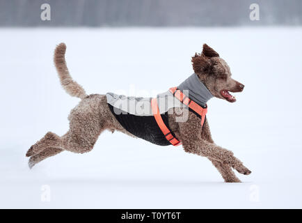 Standard poodle running and enjoying the snow on a beautiful winter day. Playful dog in action on a snowy field in Finland. Active lifestyle in concep - Stock Photo