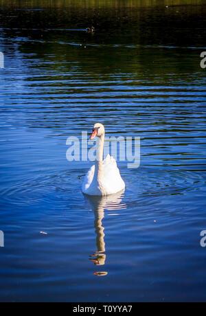 White swan swimming on the lake. Beautiful white bird. Water bird - Stock Photo