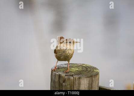 Wren on a fence post - Stock Photo
