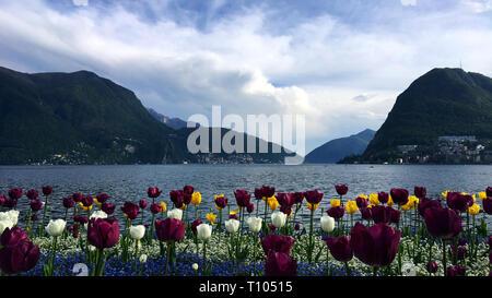 Coloured tulips on Lugano lake - Stock Photo