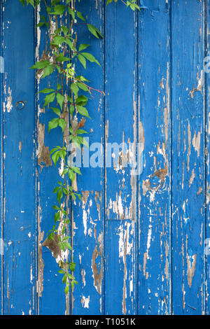 A strand of Virginia creeper (Parthenocissus quinquefolia) hangs over a neglected old wooden garden door with peeling blue paint - Stock Photo