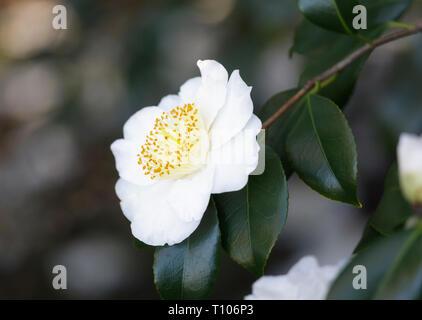 Close up of a white Camellia 'Hakutaka' 'Higo' flower in full bloom - Stock Photo
