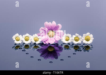 White and pink Chrysanthemums on reflective surface with waterdrops - Stock Photo