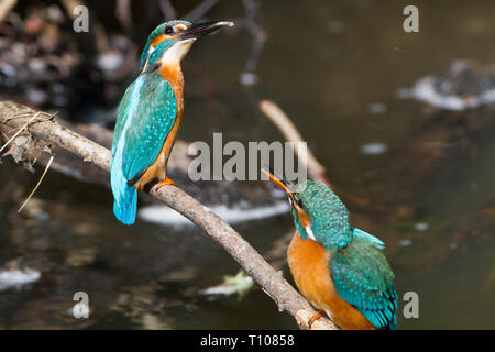 Female Kingfisher ( Alcedo atthis ) foreground , with male background with tiny fish ,to feed newly hatched 1 day year old chicks - Stock Photo