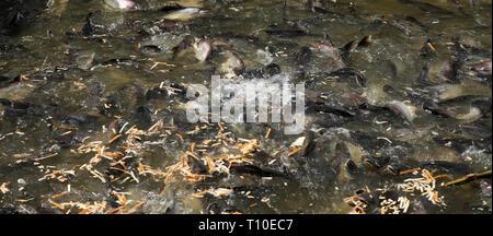 Fish in the river Chao Praya in Bangkok - Stock Photo