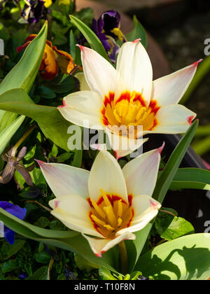 Red and yellow throated cream petals of the early flowering botanical tulip, Tulipa kaufmanniana 'Waterlily' - Stock Photo