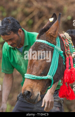 Mule, the result of cross-breeding between a horse (Equus caballus), and a donkey (Equus asinus), being used as a pack animal. Head and facial feature of both parents discernable. Northern India. - Stock Photo