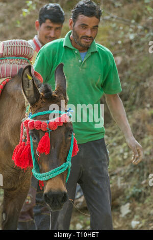 Mule, the result of cross-breeding between a horse (Equus caballus), and a donkey (Equus asinus), being used as a pack animal for carrying broken stone for building. Northern India. - Stock Photo