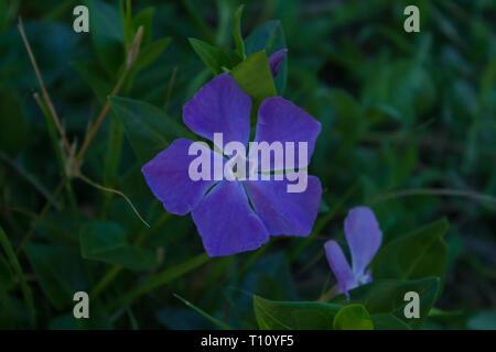 Vinca major, Wild Periwinkle Flower, Spain - Stock Photo