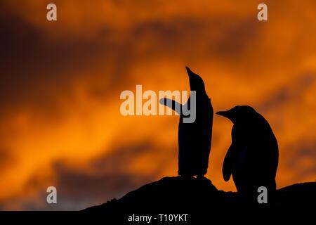 Antarctica, Paradise Harbour aka Paradise Bay. Silhouette of Gentoo penguins with polar sunset. - Stock Photo