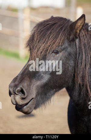 Portrait of cute black Icelandic horse with a fringe and a mane of black color - Stock Photo
