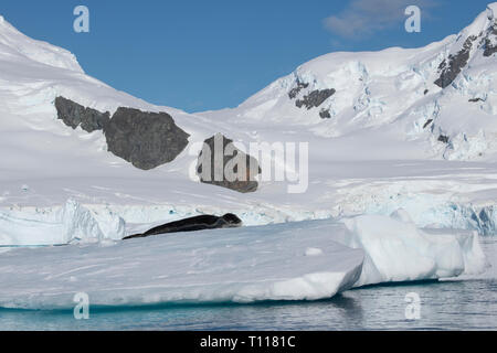 Antarctica. Cuverville Island located within the Errera Channel between Ronge Island and the Arctowski Peninsula. Leopard seal on iceberg. - Stock Photo