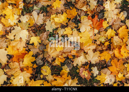 Yellow and orange leaves lie on the ground. Fallen maple leaves. Top view - Stock Photo