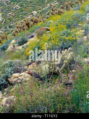 USA, California, Anza Borrego Desert State Park, Notch-leaved phacelia and brittlebush bloom among teddybear cholla in Mason Valley. - Stock Photo