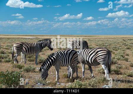 Zebra graze in the Etosha National Park, Namibia.