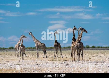 A tower (herd) of giraffes graze on the desert landscape of Etosha National Park, Namibia. - Stock Photo