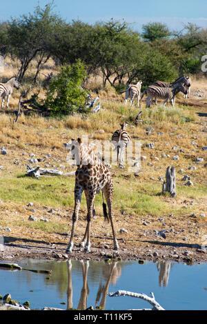 Giraffes drink at a waterhole in Etosha National Park, Namibia. - Stock Photo