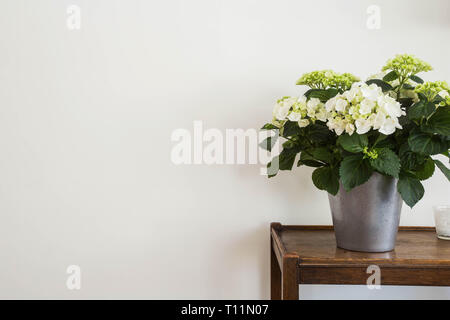 White hydrangeas in a vase with white wall, space for text. - Stock Photo