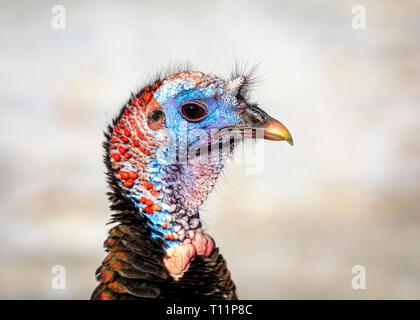 Wild Turkey, hen, close up, Manitoba, Canada.