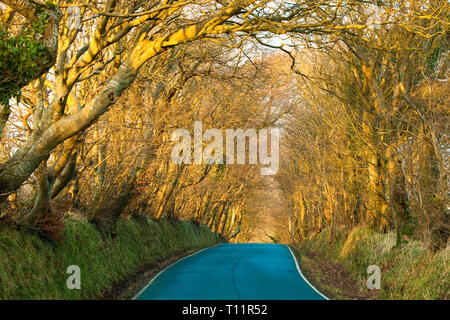 Europe, Great Britain, Isle of Man. Magical tree avenue growing on top of traditional sod hedge in late winter sunshine. - Stock Photo
