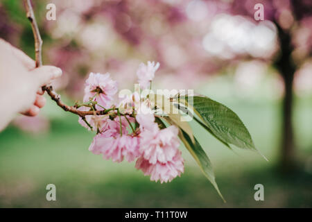 photo of womans hand holding blossoming tree brunch with pink flowers on bokeh green and pink background - Stock Photo
