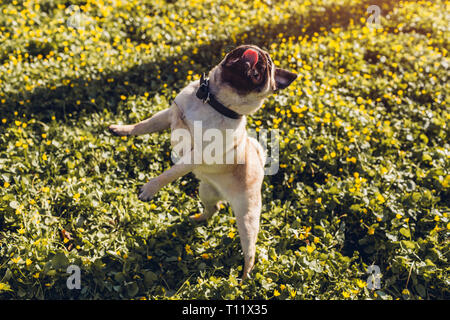 Pug dog walking in spring forest. Puppy having fun among yellow flowers in the morning. Dog jumps to catch food with tongue hanging - Stock Photo