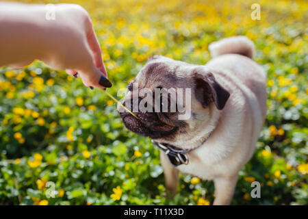 Woman playing with pug dog. Puppy caught flower. Dog walks in forest among yellow flowers. Happy pug dog - Stock Photo