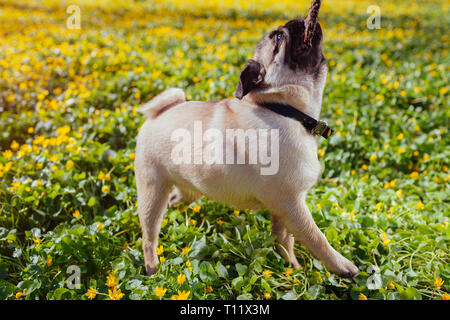 Pug dog biting wooden stick in spring forest. Puppy having fun. Happy dog playing with master outside. - Stock Photo