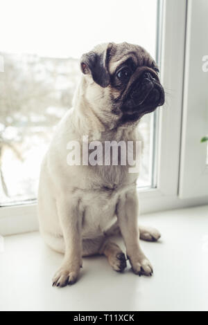 Pug dog waiting for orders of its master on window sill. Funny pug dog puppy ready for orders. - Stock Photo