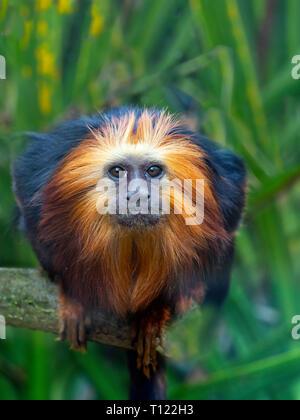 Golden-headed lion tamarin Leontopithecus chrysomelas Captive portrait - Stock Photo