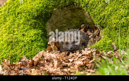 Hedgehog, (Erinaceus Europaeus) wild, native, European hedgehog foraging in natural woodland habitat during Springtime with green moss. Landscape - Stock Photo