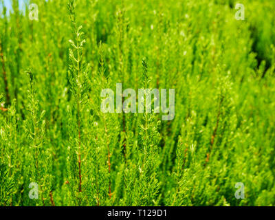 Image of light green cypress tree wonderful color - Stock Photo