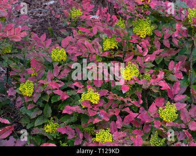 Mahonia aquifolium 'Moseri'      March - Stock Photo