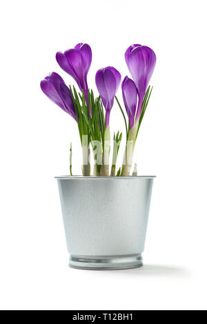 Flowers crocuses in a tin flower pot on a white background - Stock Photo