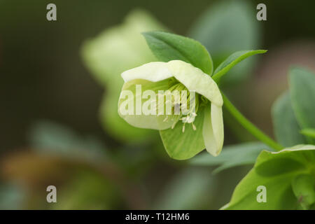 A beautiful Christmas Rose Helleborus flower. - Stock Photo