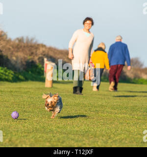 Cute playful Yorkshire Terrier caught in action on Hunstanton green above the cliffs on North Norfolk coast, East Anglia, England, UK. - Stock Photo