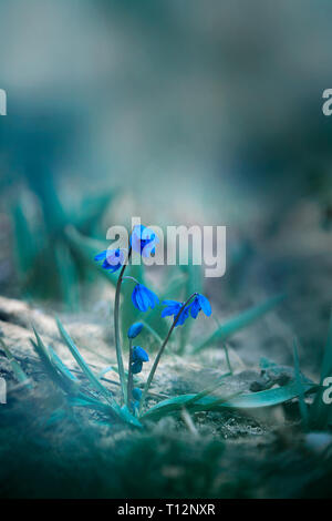 Beautiful snowdrop flowers (Galanthus nivalis) close up - Stock Photo