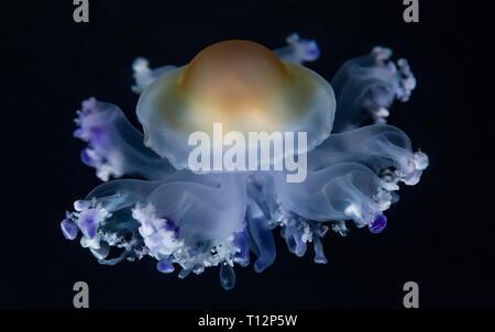 Close-up view of a Fried Egg jellyfish (Cotylorhiza tuberculata) - Stock Photo