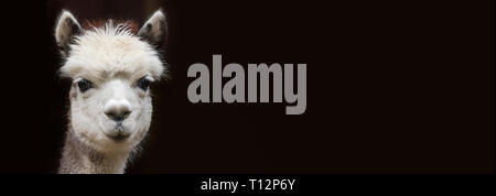 Close up View of a young Alpaca with Copy space in front of black background - Stock Photo