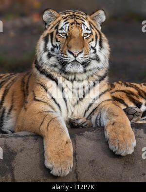 Close up view of a young Siberian tiger (Panthera tigris altaica) - Stock Photo