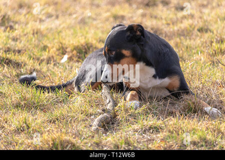 Black and white dog in spring. Appenzeller Mountain Dog. Huge dog chewing on a stick. - Stock Photo