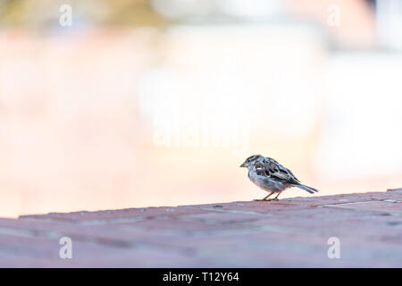 One house sparrow bird perched on roof closeup in old town market square in Warsaw, Poland with bokeh background - Stock Photo