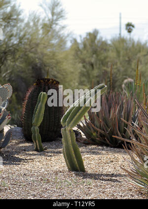 Beautiful landscape with Mexican Fence Post Cactus (Pachycereus marginatus) in Westward Look Wyndham - Stock Photo