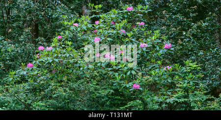 USA, California, Jedediah Smith State Park, Pacific rhododendrons bloom in understory of redwood forest. - Stock Photo