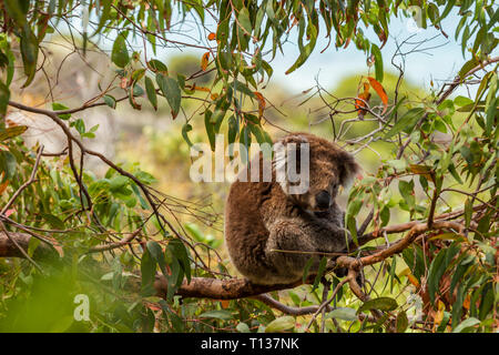Koala sitting high above in coastal gumtree. - Stock Photo