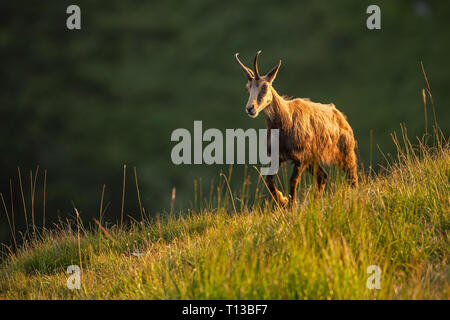 Alpine chamois, rupicapra rupicapra, in the mountains at sunset. - Stock Photo